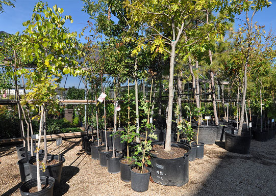 Shade Tree Varieties